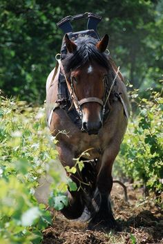 Draft horse in the vineyard                                                                                                                                                      More