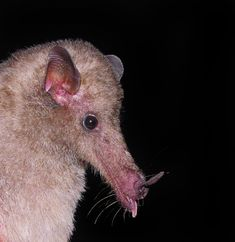 The Banana Bat (Musonycteris harrisoni) is an endangered species of bat in the family Phyllostomidae