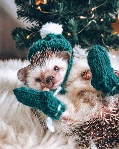 """Mr.Pokee the Hedgehog on Instagram: """"When your hedgehog is more fashionable than you'll ever be 🦔✨"""" Baby Animals Super Cute, Pretty Animals, Cute Little Animals, Cute Funny Animals, Animals Beautiful, Baby Animals Pictures, Cute Animal Pictures, Animals And Pets, Cute Puppies"""