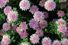 Pimelea Sunset Blush is one of many selections of this very versatile plant. What sets it apart is the fringe of white around each deep pink pompom, adding a lollipop quality that is rather appeali… Plants, Planting Flowers, Australian Native Plants, Flowers, Native Garden, Small Flowers, Australian Wildflowers, African Plants, Drought Tolerant Garden