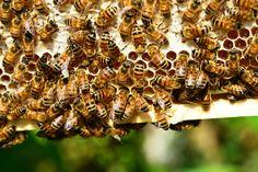 #Bee venom shortage making life-saving allergy shots more scarce - WSPA.com: WSPA.com Bee venom shortage making life-saving allergy shots…