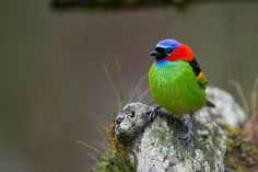 Tanager   Waiting by André Luiz Silva, via 500px