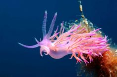 Pink Sea Slug - Borut Furlan/Getty Images
