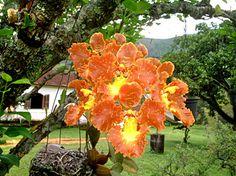 orquideas Cattleya, Oncidium, Laelia - Pesquisa Google
