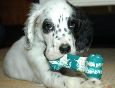 Google Image Result for http://cdn-www.dailypuppy.com/media/dogs/anonymous/amos_setter03.jpg_w450.jpg