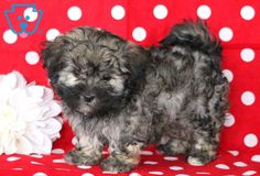 This playful Havanese puppy will fit in nicely with any family. She is a precious puppy who is well socialized, lovable and full of spunk. This baby doll Havanese Puppies For Sale, Havanese Dogs, Cute Puppies, Cute Dogs, Dogs And Puppies, Havanese Haircuts, Puppy Haircut, Cute Baby Animals, Fur Babies