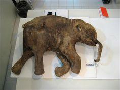 En liten jentemammut som ble funnet i Sibir i mai 2007. Datering ved hjelp av C14-metoden viser at den levde for rundt 37 500 år siden.