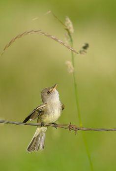 "belindag: "" (via Little Willow Flycatcher | In the Meadow | Pinterest) """