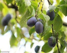 Prunus domestica (quetsches)