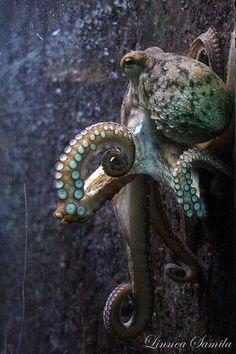 Octopus vulgaris   by Linnea S.
