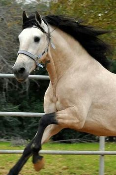 Lovely pale buckskin