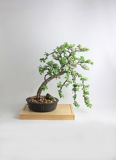 Dwarf Jade bonsai tree Jade Collection by LiveBonsaiTree - Gardening Prof Jade Bonsai, Bonsai Art, Bonsai Plants, Bonsai Garden, Garden Pots, Bonsai Trees, Jade Tree, Cacti And Succulents, Succulent Ideas