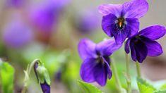 Čaj, sirup, aj limonáda z fialkových kvetov majú dokonalú fialovú farbu. Clear Spring, Spring Colors, Purple, Flowers, Bright, Watercolor, Cooking, Herbal Medicine, Garden