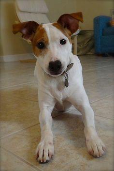 Dottie the Jack Russell Terrier