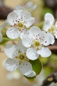 Lasting friendship: Pear blossom
