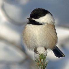 Chickadee They say their name...chick-a-dee-dee-dee-dee-dee or bay-bee   So cute!