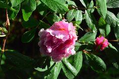 Theresa aloittelee ruusukautta