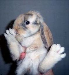 english lop eared rabbit