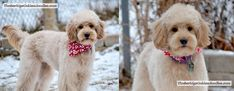 Goldendoodle Lamb With With Plumbed Tail, Full Face & Short Ears Goldendoodle Haircuts, Goldendoodle Grooming, Mini Goldendoodle, Goldendoodles, Poodle Cuts, Haircut Pictures, Military Dogs, Dog Boarding, Service Dogs
