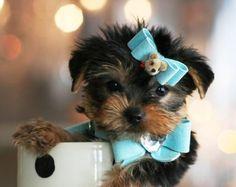 Yorkies For Sale, Teacup Yorkies, Teacup yorkie puppies...I am in LOVE