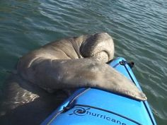 manatee hugging a kayak-this would be my dream come true