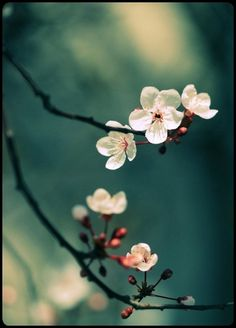 Superb Nature - blooms-and-shrooms: World of dreams by. Small Flowers, Pretty Flowers, Nice Flower, Sakura Cherry Blossom, Cherry Blossoms, Beautiful Flowers Wallpapers, Gras, Flower Wallpaper, Nature Pictures
