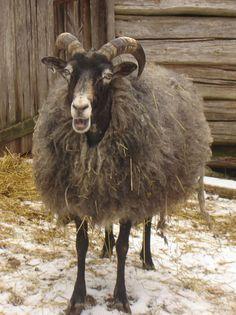 Gute, an old Swedish breed of sheep Paulaz.se Sheep Farm, Sheep And Lamb, Farm Animals, Animals And Pets, Cute Animals, Chamois, Baa Baa Black Sheep, Sheep Breeds, Tier Fotos
