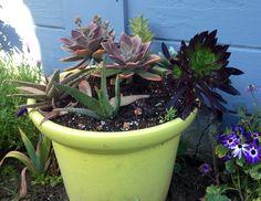 Succulents arrangement container garden repurposed murphyfrog Susan's garden