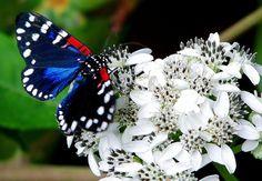 Composia fidelissima -- Faithful Beauty Moth 4204 | Flickr - Photo Sharing!