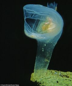 The Predatory tunicate is normally found in deep sea canyons where it spends its life, mouth wide open, waiting for small animals and plankton to swim into it.