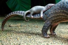 A baby pangolin riding on its mother's tail