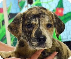 Maris is a 6 week old female Catahoula/Lab. mix in Searcy, AR. She is one of Freckles girls and is looking for a home of her very own. Maris would like her new home to have a safe fenced play area. Contact The Humane Society of Searcy @ 501-268-3535 or hss@cablelynx.com.