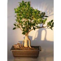 Bonsai Boy's Ficus Retusa Bonsai Tree - Banyan Style ficus retusa$250.00: www.amazon.com/Bonsai-Boys-Ficus-Retusa-Tree/dp/B007L0H7E4/?tag=sure9600pneun-20