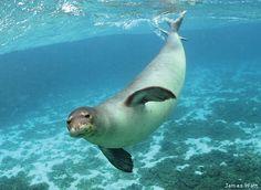 Hawaiian Monk Seal photo taken in Papahanaumokuakea Marine National Monument. bit.ly/...