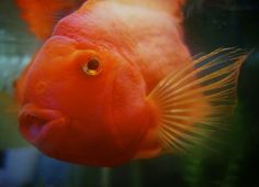 Smiling gold fish.