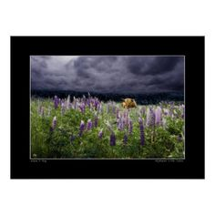 Highlander in Lupine poster - decor diy cyo customize home