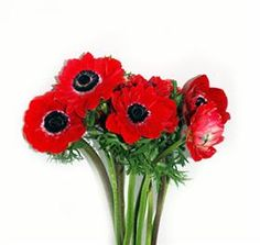 Anemone Double Red  Mayesh Wholesale Florists - Search our Flower Library