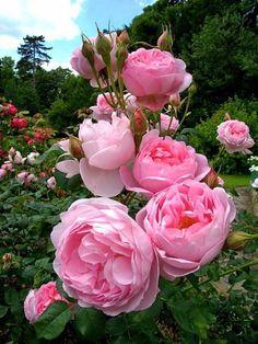 Las 96 mejores imágenes de Jardin de rosas en 2020 | Rosas ...