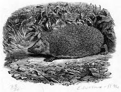 Hedgehog per La Storia Naturale di Selborne, Gilbert White, Folio Society. Picture Engraving, Wood Engraving, Animal Quilts, Animation Reference, Animal Drawings, Pen Drawings, Wonderful Picture, Painting Prints, Paintings