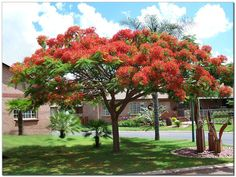 All about Flanboyant. Delonix Regia, Plantas Bonsai, Flame Tree, Buy Plants Online, Landscaping Trees, Lawn Service, Professional Landscaping, Mediterranean Garden, Lawn Care