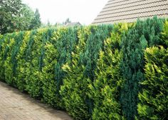 Tree of Life Hedge Thuja occidentalis is ook onbesneden. Backyard Trees, Landscaping Trees, Privacy Landscaping, Modern Landscaping, Front Yard Landscaping, Evergreen Landscape, Evergreen Garden, Cerca Natural, Thuja Occidentalis
