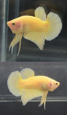 Smart Full Yellow HMPK Male