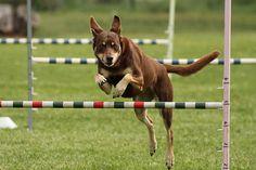 Kelpie Everyday Workout, Dog Agility, Working Dogs, His Eyes, Cattle, Animal Photography, Dog Breeds, Anatomy, Pets