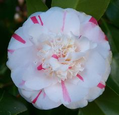 """Camellia japonica """"White Buttons"""""""
