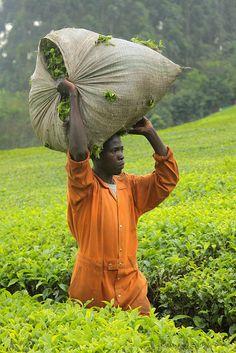 Tea Harvest In Uganda #Africa, #pinsland, https://apps.facebook.com/yangutu