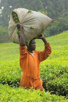 Tea harvest in Uganda. Favorable climate and soil conditions enable Uganda to…