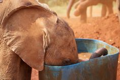 On World Elephant Day, it's important to remember how much the world needs one of our cutest, smartest species. All the baby elephants pictured below are currently living at The David Sheldrick Wildlife Trust. Adopt An Elephant, Elephant Love, Elephant Walk, All About Elephants, Baby Elephants, Giraffes, Baby Elephant Pictures, Elephant Facts, World Elephant Day