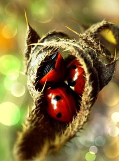 red lady bugs, ladybirds huddled inside a leaf Lady Bug, She's A Lady, Lady In Red, Lucky Ladies, Bugs And Insects, Love Bugs, Black Spot, Belle Photo, A Bug's Life
