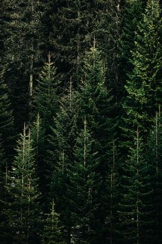 green forest with pine trees photo – Free Plant Image on Unsplash Tree Wallpaper Iphone, Planets Wallpaper, Apple Watch Wallpaper, Cute Wallpaper Backgrounds, Phone Backgrounds, Phone Wallpapers, Winter Wallpaper, Green Wallpaper, Christmas Wallpaper