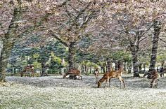 """Deer graze on cherry blossom petals in a hana fubuki, or a flower snowstorm, Nara Park, Japan,"" Hisao Mogi, National Geographic"